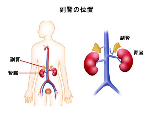 副腎の位置