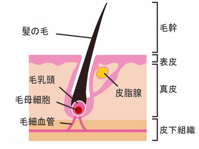 毛母細胞と毛乳頭細胞